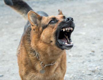 morsure de chien
